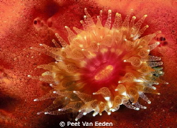 Cup coral by Peet Van Eeden 